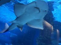 A Víz Világnapja alkalmából a MaVíz örökbe fogadta a Tropicarium cápafarkú gitárrájáját