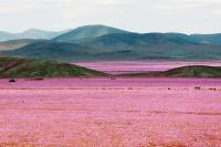 Virágba borult a világ legszárazabb sivataga